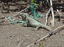 Turks&Caicos Rock Iguana